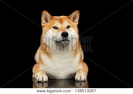 Pedigreed Shiba inu Dog Lying, Looks closely on Isolated Black Background, Front view