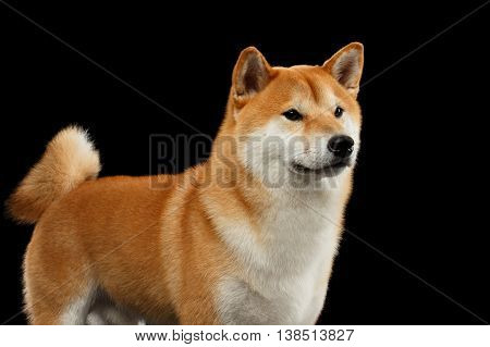 Close-up pedigreed Red Shiba inu Breed Dog Standing and Looks Curious on Isolated Black Background, Front view