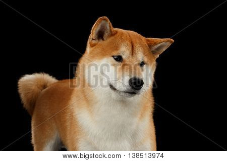 Close-up pedigreed Red Shiba inu Dog Standing and Looks Curious on Isolated Black Background, Front view