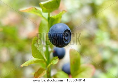 Drug blueberries macro in the forest. Wild edible berries. Blueberry to improve vision. Vitamins in natural form in nature. Picking berries in the summer. In medicine uses the berries and leaves.