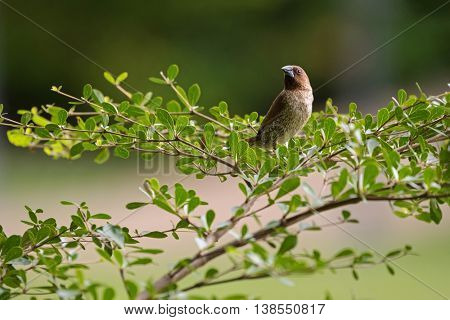 Scaly-breasted Munia bird in brown color with marking on breast and belly perching on Terminalia ivorensis branch in Thailand (Lonchura punctulata)