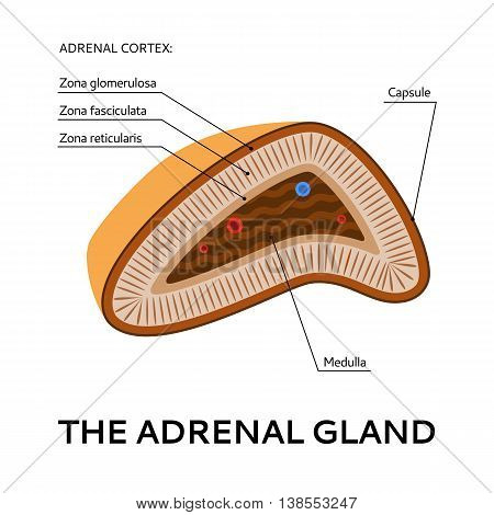 The adrenal gland, medical scheme from the point of view, Vector flat illustration