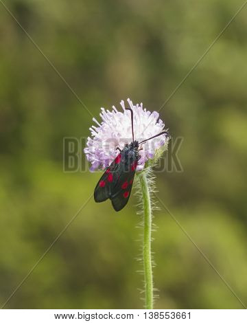 Six-spot burnet Zygaena filipendulae moth on Flower of Field Scabious Knautia Arvensis with bokeh background macro selective focus shallow DOF