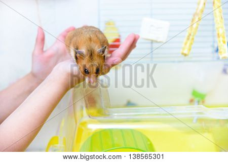 Red Tame Hamster In The Hands Of Child