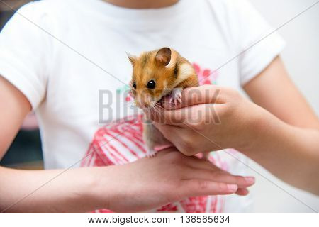 Red tame hamster in the hands of a child poster