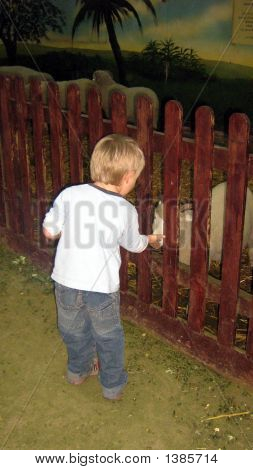 Child In A Farm Playing With/ Touching Sheep