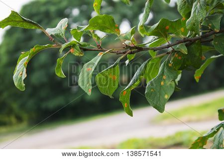 natural photo plum tree branche with leaves affected by the disease