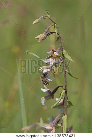 Marsh Helleborine With Honey Bee