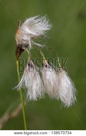Broad Leaved Bog Cotton