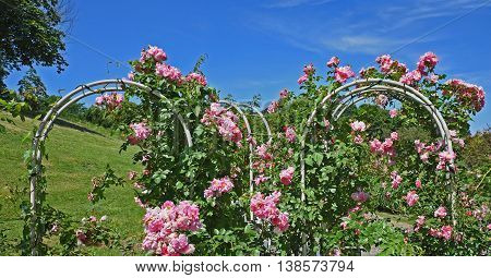 rose arch with pink rambler roses in the park