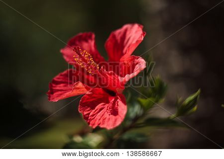 Hibiscus rosa-sinensis known as Chinese hibiscus China rose Hawaiian hibiscus and shoeblackplant