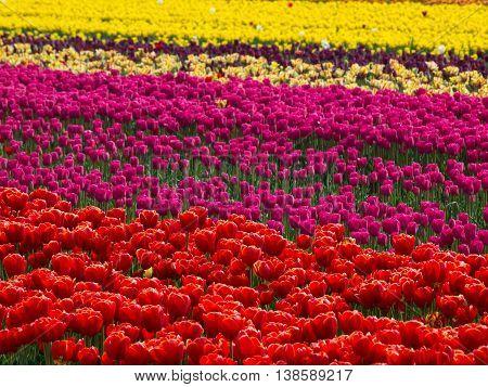 many tulips near bergen in the netherlands