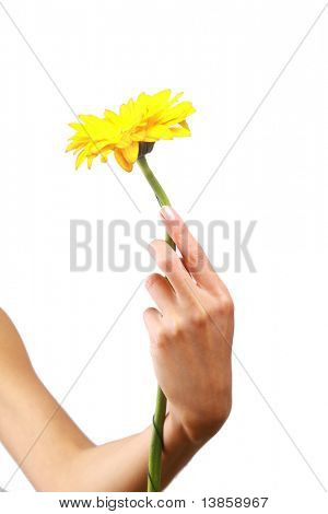 yellow crysanthemum in womans hand