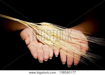 Hands together with which are offering ears of corn