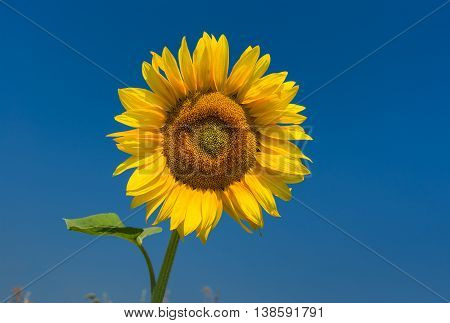 Classic Ukrainian symbol - sunflower at flowering time against dark blue sky