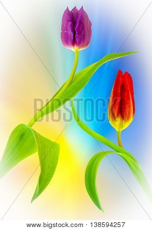 View of two purple tulips on a blurred background