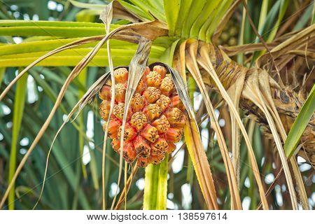 Beautiful tropical plant Pandanus tectorius at island Bali