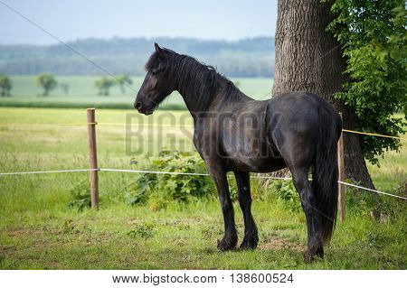 Friesian Colt In Meadow