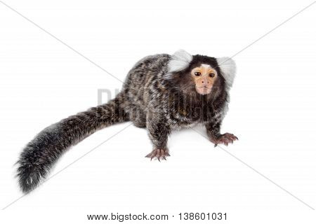 The common marmoset, Callithrix jacchus, isolated on white background