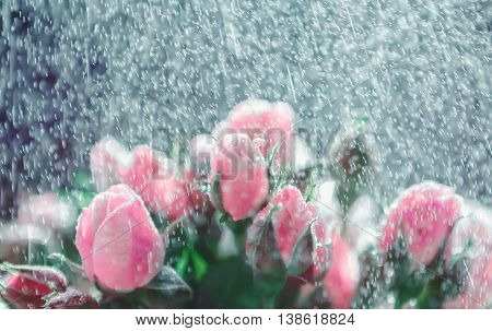 Fresh blurred de-focused floral background of roses under a rain spray. Greeting card for wedding or Valentine's day.