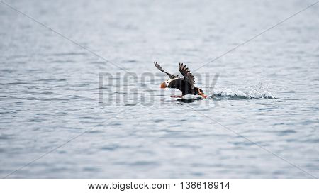 Tufted Puffin slows down for a landing