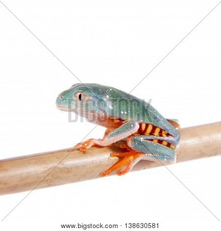 Barred leaf frogling, Phyllomedusa tomopterna, isolated on white background
