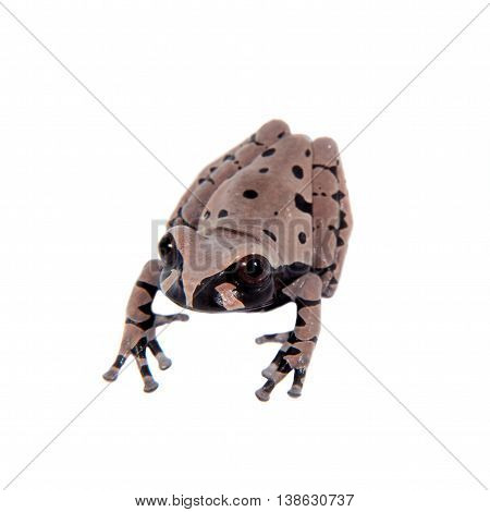 The spiny-headed tree frogling, Anotheca spinosa, isolated on white