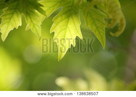 sunlit leaves of sycamore on blurred background