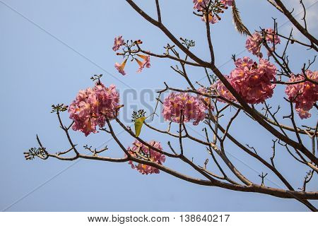 Pink trumpet tree flower blooming in valentine's day
