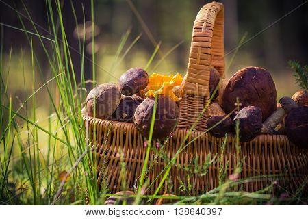 Basket Full Edible Mushrooms Forest