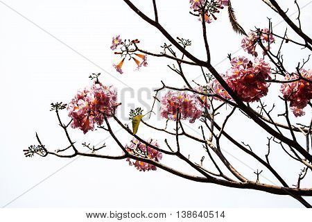 Pink trumpet tree flower blooming on white background