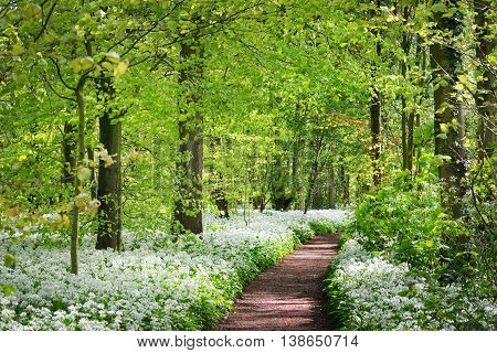 A road in the forest and the blooming wild garlic (Allium ursinum) in Stochemhoeve Leiden the Netherlands
