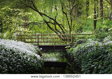 bridge over the river and the blooming wild garlic (Allium ursinum) in Stochemhoeve Leiden the Netherlands