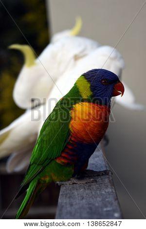 Colorful rainbow rainbow lorikeet (Trichoglossus haematodus) cockatoos in the background