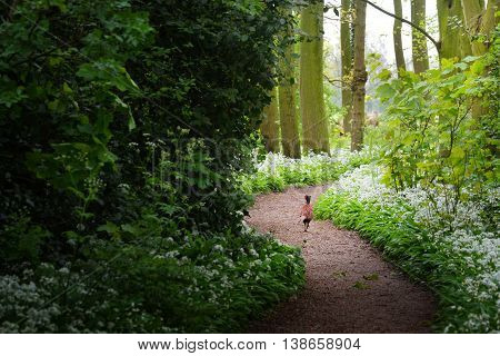 Pheasant in the forest and the blooming wild garlic (Allium ursinum) in Stochemhoeve Leiden the Netherlands