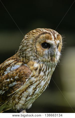 Stunning Portrait Of Tawny Owl Strix Aluco