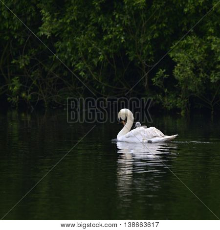 Beautiful Mute Swan Cygnus Olor With Cygnet On Back Gliding Across Lake
