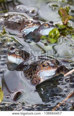 Four common frogs in a pond in springtime, mating and spawning