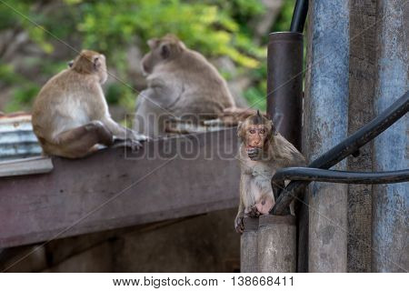 Crab-eating macaques in the city of Phetchaburi Bangkok Thailand. These monkeys are considered as pests.