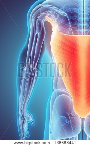 3D Illustration Of Latissimus Dorsi.