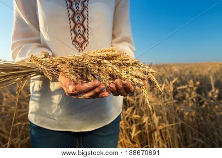 Woman's hands holding wheat .Wheat field against a blue sky. wheat harvest in the field. ripe wheat closeup.