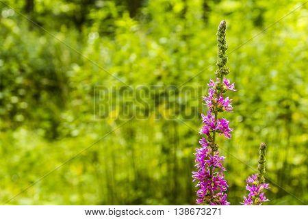 Plant - Lythrum Salicaria L..