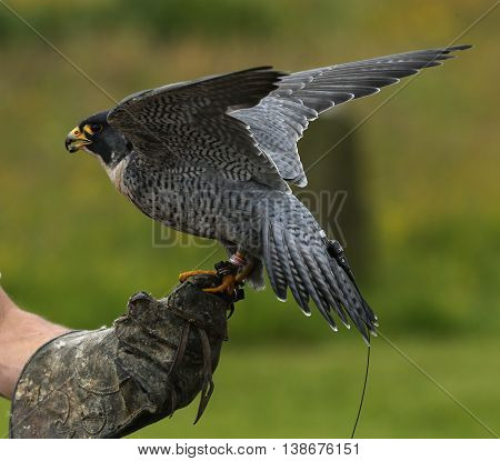 Close up of a Peregrine Falcon on a keepers glove