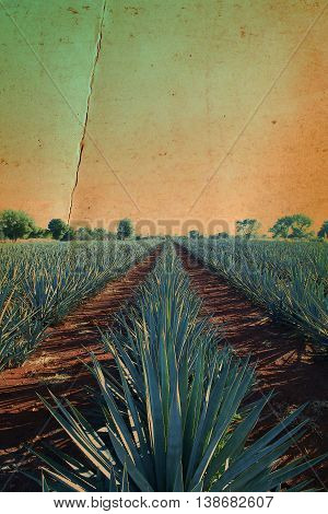 old landscape of agave fields with a yellow and green tone