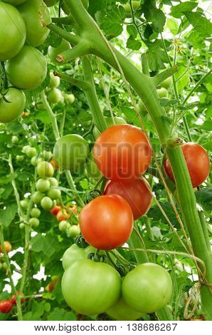 Many Tomatoes Are Growing In Hothouse