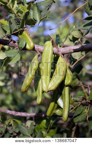 ceratonia called ceratonia siliqua - eco diet