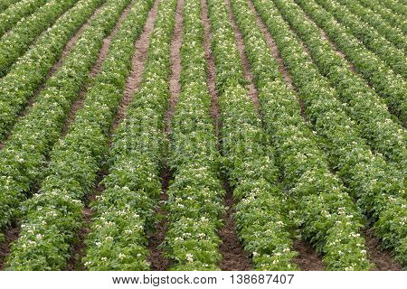 Rows and rows of Potato Plants grow in Idaho Agricultural Farms