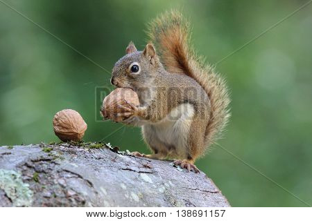 An American red squirrel holding a nut in it's paws.