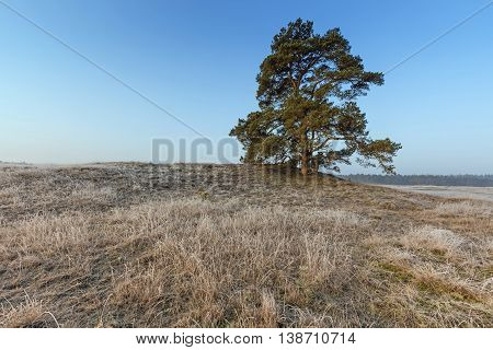 Mighty Pine Tree At Veluwe In Winter