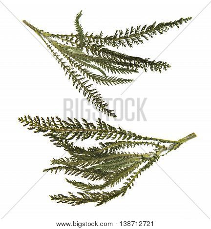 dry green pressed leaf of fern isolated pressed fleecy leaves on white background for scrapbook